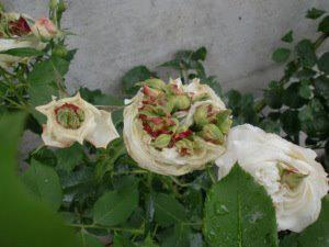 AS this is happening to the Roses what do you thin